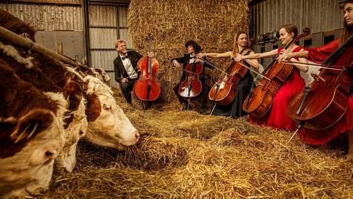 В Дании устраивают музыкальные концерты для коров: интересные фото
